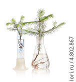 Купить «Два росточка ели в химической колбе и пробирке на белом фоне», фото № 4802867, снято 11 июня 2013 г. (c) Наталия Евмененко / Фотобанк Лори