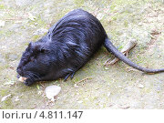 Купить «Нутрия, или водяная крыса», фото № 4811147, снято 11 июня 2010 г. (c) Чернова Анна / Фотобанк Лори