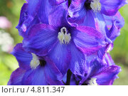 Цветы душистого горошка, макро. Стоковое фото, фотограф Алексей Турилов / Фотобанк Лори