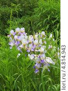 Купить «Ирис бородатый (Iris barbata)», эксклюзивное фото № 4814943, снято 28 июня 2013 г. (c) Евгений Мухортов / Фотобанк Лори