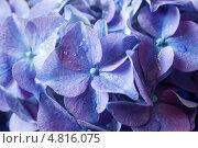 Фиолетовая гортензия, крупный план. Стоковое фото, фотограф Елена Ефимова / Фотобанк Лори
