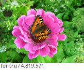 Купить «Бабочка адмирал (Vanessa atalanta) на цветке циннии (Zinnia)», эксклюзивное фото № 4819571, снято 5 августа 2012 г. (c) lana1501 / Фотобанк Лори