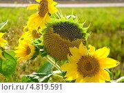 Купить «Подсолнухи на лугу», фото № 4819591, снято 11 августа 2012 г. (c) Ласточкин Евгений / Фотобанк Лори