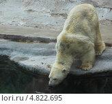 Белый медведь. Стоковое фото, фотограф Шумов Евгений Владимирович / Фотобанк Лори