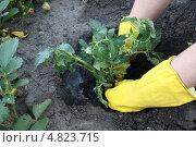 Руки в перчатках сажают рассаду помидоров в землю. Стоковое фото, фотограф Александр Пащенко / Фотобанк Лори