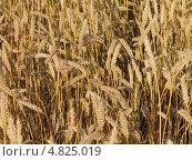 Колосья пшеницы. Стоковое фото, фотограф Ринат Гайсин / Фотобанк Лори