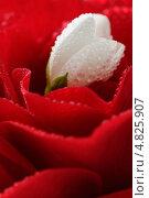 Цветок жасмина в цветке розы с каплями росы. Стоковое фото, фотограф Digifuture / Фотобанк Лори