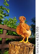 Забавный цыпленок с хохолком, стоящий на пеньке. Стоковое фото, фотограф Digifuture / Фотобанк Лори