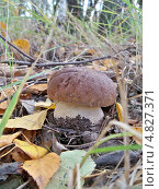 Белый гриб в листве. Стоковое фото, фотограф Александр Заболотный / Фотобанк Лори