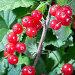 Ягоды красной смородины крупным планом, фото № 4828223, снято 2 июля 2013 г. (c) Сергей Лаврентьев / Фотобанк Лори