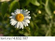 Ромашка на зеленом натуральном фоне. Стоковое фото, фотограф Максим Савин / Фотобанк Лори