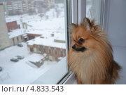 Верный пес в ожидании хозяина. Стоковое фото, фотограф Ирина Белоусова / Фотобанк Лори