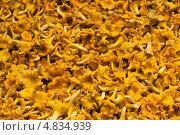Купить «Множество грибов лисичек», фото № 4834939, снято 11 сентября 2010 г. (c) Михаил Трибой / Фотобанк Лори