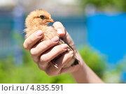 Девушка держит цыпленка в руке. Стоковое фото, фотограф Виталий Харин / Фотобанк Лори