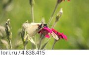 Купить «Макросъемка бабочек на розовом цветке», видеоролик № 4838415, снято 24 июня 2013 г. (c) Юрий Александрович Балдин / Фотобанк Лори