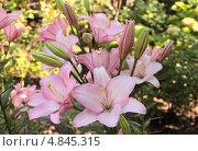 Купить «Нежно-розовые лилии Алгарве (Lilium Algarve) распустились в саду», эксклюзивное фото № 4845315, снято 27 июня 2013 г. (c) Ирина Водяник / Фотобанк Лори