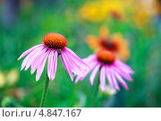 Купить «Эхинацея пурпурная (Echinacea purpurea), многолетник», фото № 4847167, снято 9 июля 2013 г. (c) Попкова Ольга / Фотобанк Лори