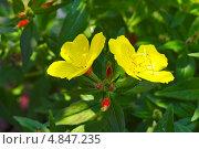 Купить «Энотера кустарниковая  (Oenothera fruticosa L. )», эксклюзивное фото № 4847235, снято 12 июля 2013 г. (c) Евгений Мухортов / Фотобанк Лори