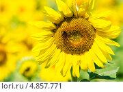 Подсолнух в поле с пчелой в соцветии. Стоковое фото, фотограф Анастасия Марисенкова / Фотобанк Лори
