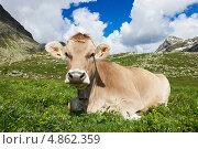 Купить «Бежевая корова лежит на лугу», фото № 4862359, снято 4 июля 2013 г. (c) Дмитрий Калиновский / Фотобанк Лори