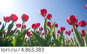 Тюльпаны на фоне неба. Стоковое фото, фотограф Бутинова Елена / Фотобанк Лори