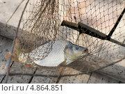Купить «Рыба на крючке в подсаке», фото № 4864851, снято 15 июля 2013 г. (c) Nina Dudka / Фотобанк Лори