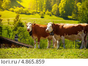 Две коровы на поле. Стоковое фото, фотограф Сергей Новиков / Фотобанк Лори