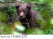Купить «Медвежонок в лесу», фото № 4869279, снято 5 июля 2013 г. (c) Эдуард Кислинский / Фотобанк Лори