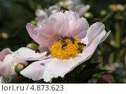 Пчёлы на бледно-розовом пионе. Стоковое фото, фотограф Юлия Соловьёва / Фотобанк Лори