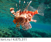 Купить «Морской петух», фото № 4875311, снято 12 июня 2013 г. (c) Робул Дмитрий / Фотобанк Лори
