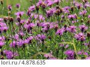 Купить «Василек луговой — Centaurea jacea L», фото № 4878635, снято 10 июля 2013 г. (c) Александр Шуть / Фотобанк Лори