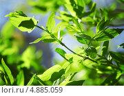 Купить «Зеленые листья в лучах солнечного света», фото № 4885059, снято 19 июля 2019 г. (c) Владимир Красюк / Фотобанк Лори