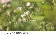 Купить «Ромашка в траве», видеоролик № 4885979, снято 24 июня 2013 г. (c) Юрий Александрович Балдин / Фотобанк Лори
