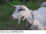 Купить «Портрет белой козы», фото № 4890819, снято 24 июля 2013 г. (c) Сычёва Татьяна / Фотобанк Лори