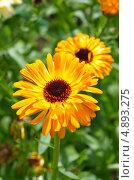 Купить «Цветы календулы (Calendula officinalis)», эксклюзивное фото № 4893275, снято 24 июля 2013 г. (c) Елена Коромыслова / Фотобанк Лори