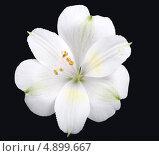 Белый цветок лилия на черном фоне. Стоковое фото, фотограф Смирнова Маргарита / Фотобанк Лори