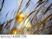 Трава на фоне золотых куполов храма. Стоковое фото, фотограф Александр Крымов / Фотобанк Лори