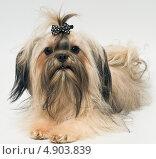 Купить «Собака породы цветная болонка на сером фоне», фото № 4903839, снято 9 марта 2013 г. (c) Vladimir Suponev / Фотобанк Лори