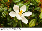 Купить «Цветок магнолии крупноцветковой. Magnolia Grandiflora», фото № 4906127, снято 24 июня 2013 г. (c) Яков Филимонов / Фотобанк Лори