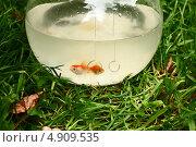 Золотые рыбки. Стоковое фото, фотограф Anna VazhoVa / Фотобанк Лори