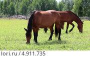 Купить «Табун лошадей в закрытом загоне пасется в солнечный день», видеоролик № 4911735, снято 30 июля 2013 г. (c) Кекяляйнен Андрей / Фотобанк Лори