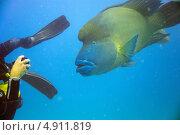 Рыба Наполеон (Cheilinus undulatus) и аквалангист. Стоковое фото, фотограф Роман Прохоров / Фотобанк Лори