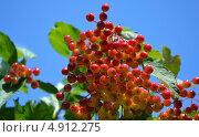 Калина красная. Стоковое фото, фотограф Инесса Зыкова / Фотобанк Лори