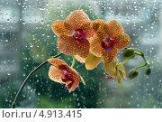 Купить «Тигровая орхидея», эксклюзивное фото № 4913415, снято 30 июля 2013 г. (c) Svet / Фотобанк Лори