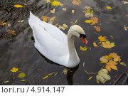 Купить «Белый лебедь в темной воде среди опавших желтых листьев», эксклюзивное фото № 4914147, снято 21 марта 2019 г. (c) Дарья Родоманова (Проскурина) / Фотобанк Лори