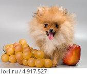 Купить «Миниатюрный Шпиц с фруктами», фото № 4917527, снято 29 июля 2013 г. (c) Vladimir Suponev / Фотобанк Лори