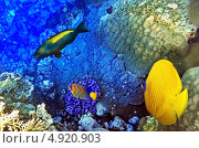 Купить «Экзотические рыбки в кораллах Красного моря», фото № 4920903, снято 8 сентября 2012 г. (c) Vitas / Фотобанк Лори