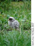 Купить «Одинокий цыпленок», фото № 4922307, снято 26 июля 2013 г. (c) Александр Хорхордин / Фотобанк Лори