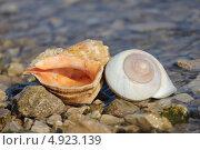 Раковина рапаны на фоне воды и камней. Стоковое фото, фотограф Андрей Каретников / Фотобанк Лори