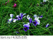 Голубые цветы растут в густой зеленой траве. Стоковое фото, фотограф Наталья Романова / Фотобанк Лори